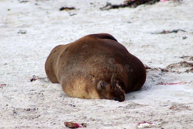 Exemplar adulto de um leão de mar masculino que encontra-se na praia na ilha do canguru foto de stock