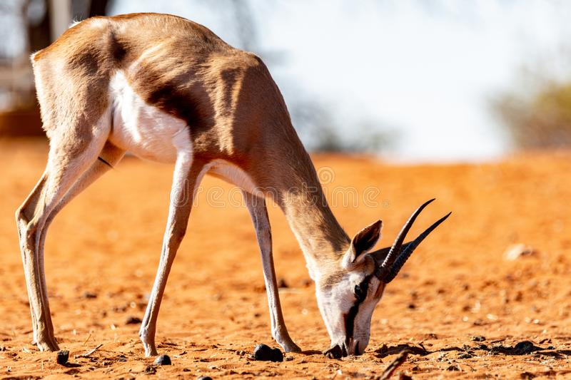 Antelope living in Namibia. Exemple of animals that we can find in Namibia, among them a big diversity of antelopes royalty free stock photo