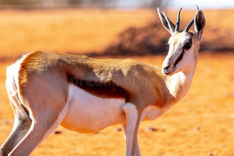 Antelope living in Namibia. Exemple of animals that we can find in Namibia, among them a big diversity of antelopes stock image