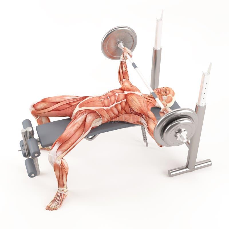 Exercício do gym do halterofilismo Imprensa de banco larga do barbell do aperto Grupo do músculo da caixa ilustração stock