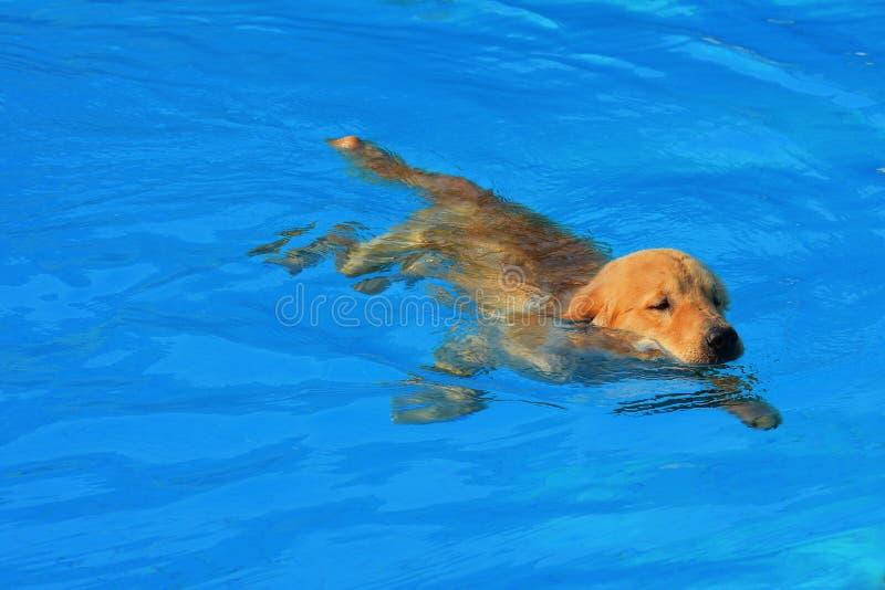 Exercice de chiot de golden retriever dans la piscine images libres de droits
