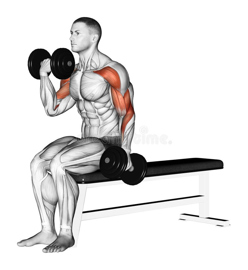 Exercising. Alternating curls with dumbbells. Alternating curls with dumbbells. Exercising for bodybuilding Target muscles are marked in red royalty free illustration