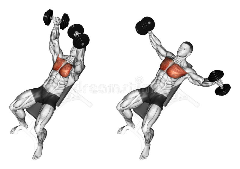 Exercising. Breeding dumbbells lying on an incline. Breeding dumbbells lying on an incline bench. Exercising for bodybuilding Target muscles are marked in red vector illustration