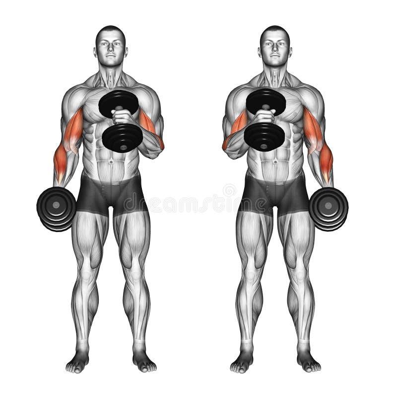 Exercising. Cross body hammer curls stock image