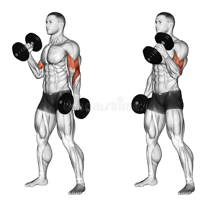 Exercising. Curl with a dumbbell grip hammer. Curl with a dumbbell grip hammer. Exercising for bodybuilding Target muscles are marked in red. Initial and final vector illustration