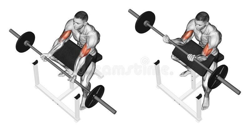 Exercising. Curls on the bench. Curls on the bench. Exercising for bodybuilding Target muscles are marked in red. Initial and final steps royalty free illustration
