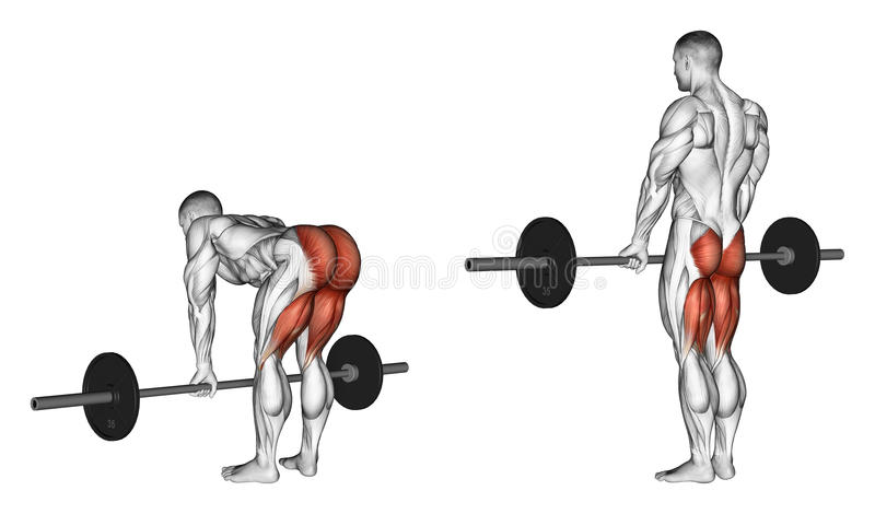 Exercising. Deadlifts with a barbell, legs straigh. Deadlifts with a barbell, legs straight. Exercising for bodybuilding Target muscles are marked in red stock illustration