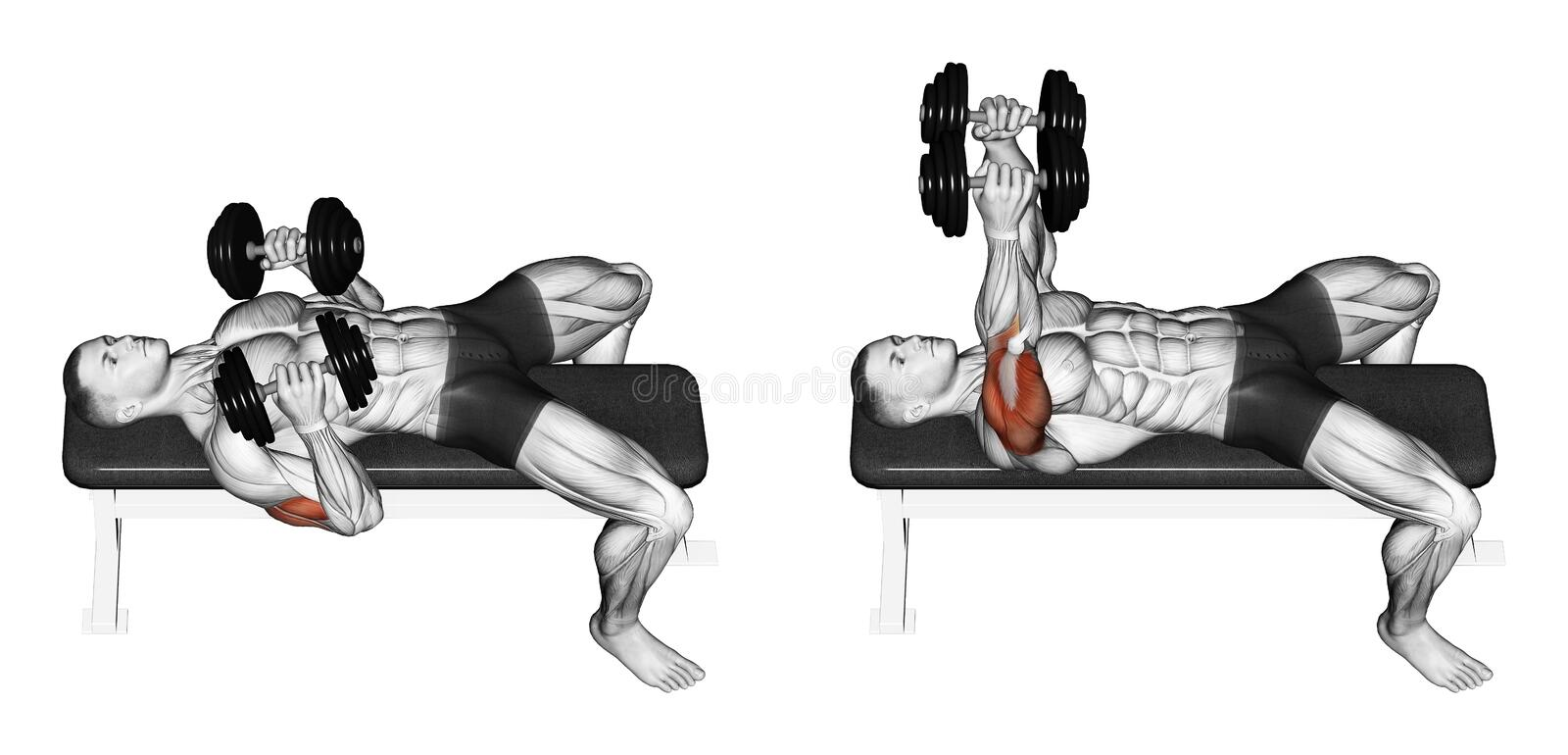 Exercising. Dumbbell bench press lying down with y. Dumbbell bench press lying down with your elbows pressed. Exercising for bodybuilding. Target muscles are vector illustration