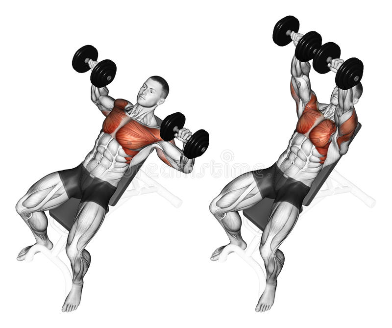 Exercising. Dumbbell bench press while lying on an. Dumbbell bench press while lying on an incline bench. Exercising for bodybuilding. Target muscles are marked vector illustration