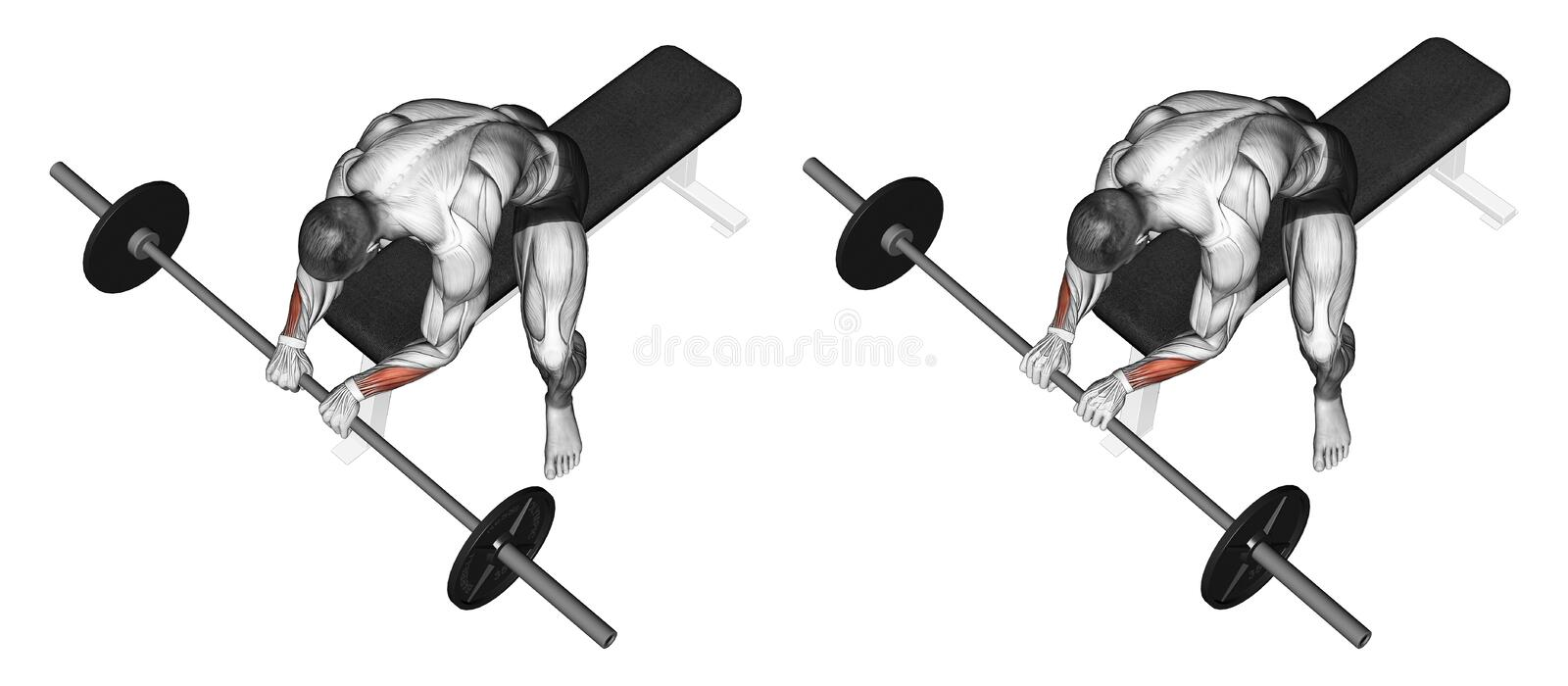 Exercising. Extension of the wrist with a barbell royalty free illustration