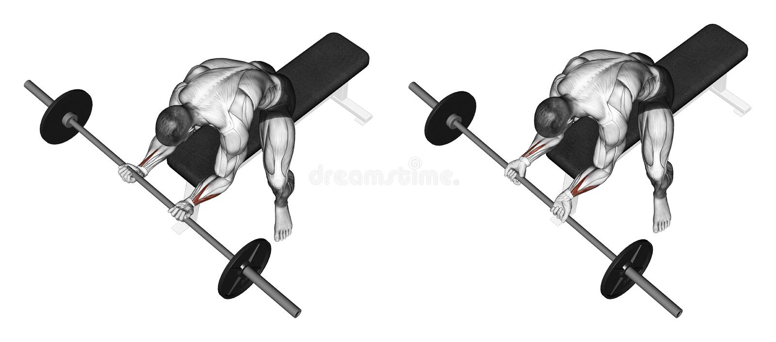Exercising. Flexion of the wrist with a barbell un vector illustration