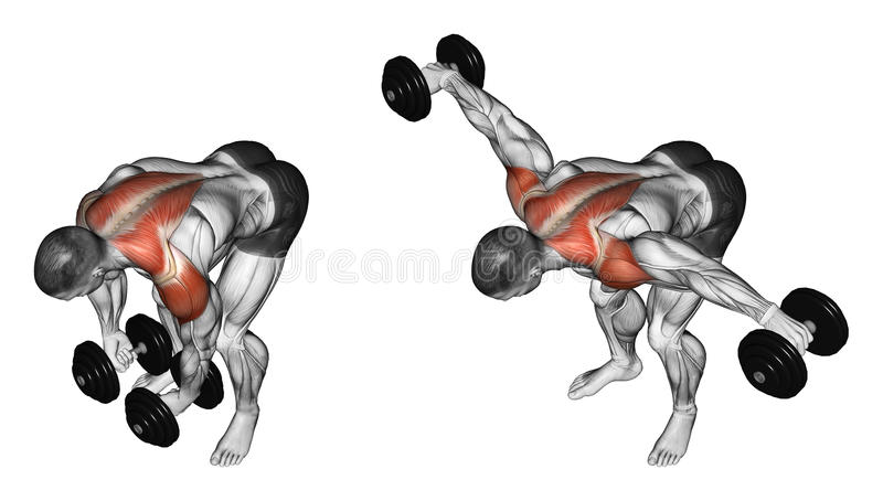 Exercising. Lifting dumbbell in hand to lean forwa. Lifting dumbbell in hand to lean forward. Exercising for bodybuilding. Target muscles are marked in red royalty free illustration