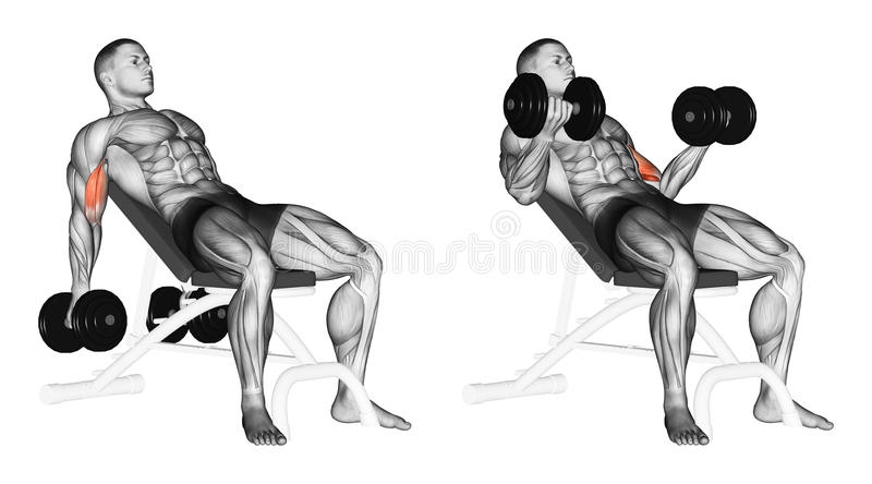 Exercising. Lifting dumbbells for biceps muscles on an incline bench. Lifting dumbbells for biceps muscles on an incline bench. Exercising for bodybuilding stock illustration