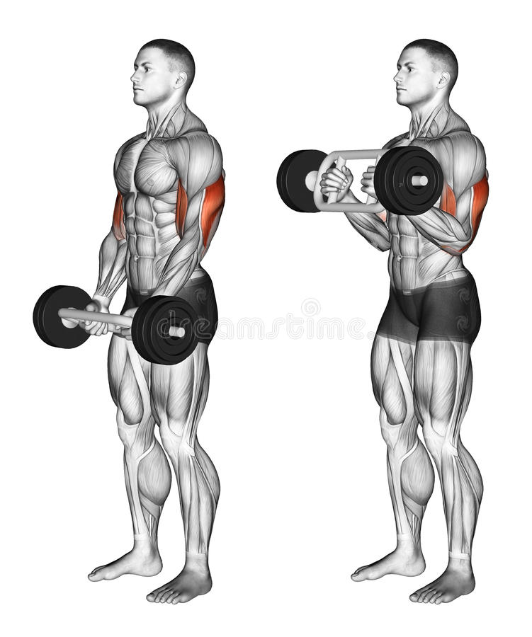 Exercising. Olympic Tricep Bar Hammer Curls stock images