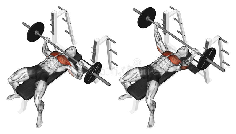 Exercising. Press of a bar, lying on the bench. Press of a bar, lying on the bench. Exercising for bodybuilding. Target muscles are marked in red. Initial and stock illustration