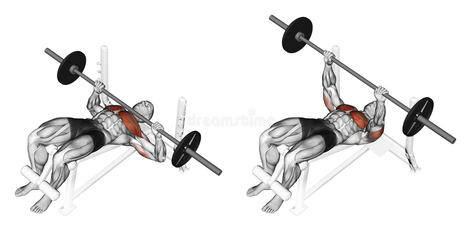 Exercising. Press of a bar, lying on a bench with. Press of a bar, lying on a bench with a slope. Exercising for bodybuilding. Target muscles are marked in red vector illustration