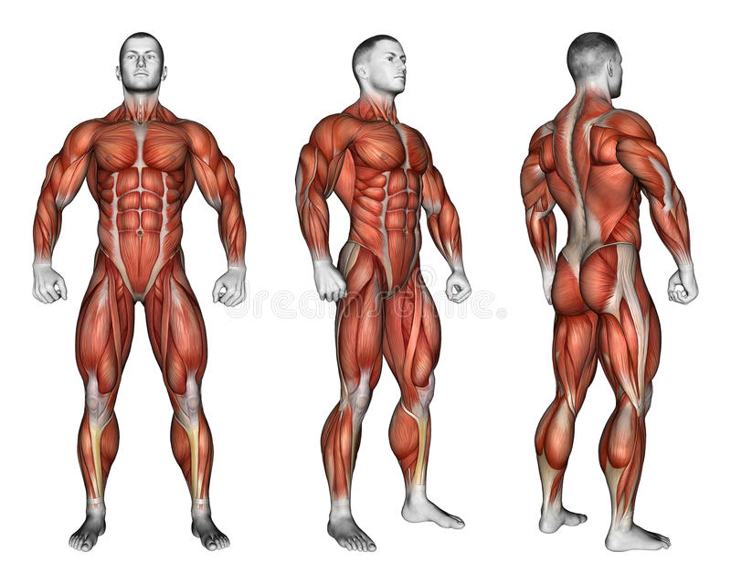 Exercising. Projection Of The Human Body. Showing Stock Illustration ...