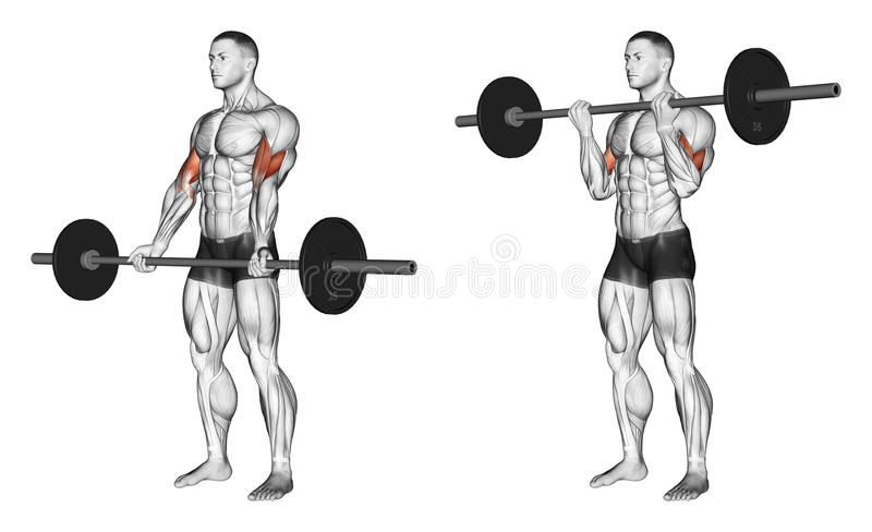 exercising Rizos con un undergrip del barbell libre illustration