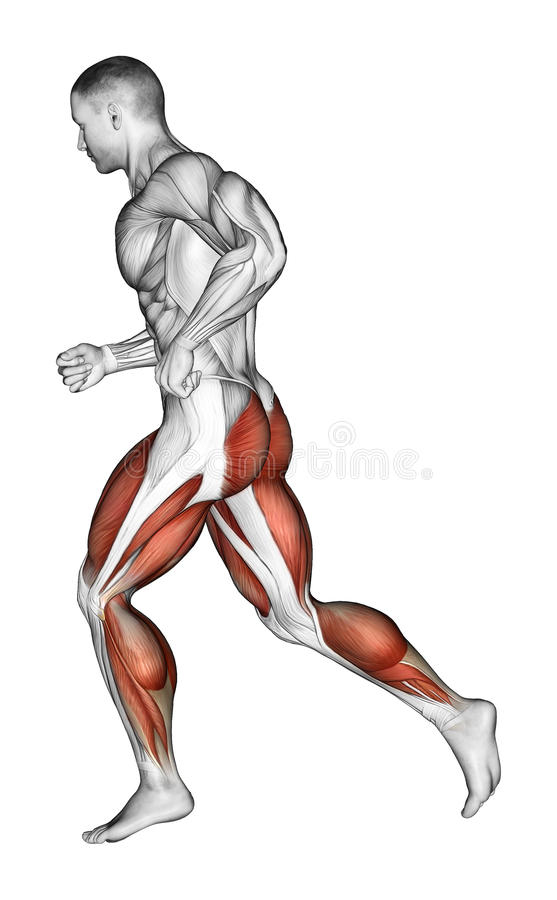 Exercising. running. Running. Exercising for bodybuilding Target muscles are marked in red royalty free illustration