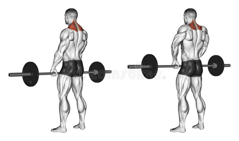 Exercising. Shrugs with barbell. Shrugs with barbell. Exercising for bodybuilding Target muscles are marked in red. Initial and final steps