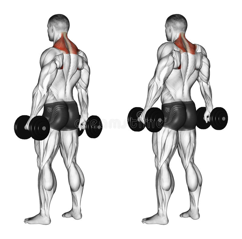 Exercising. Shrugs with dumbbells. Shrugs with dumbbells. Exercising for bodybuilding Target muscles are marked in red. Initial and final steps royalty free illustration