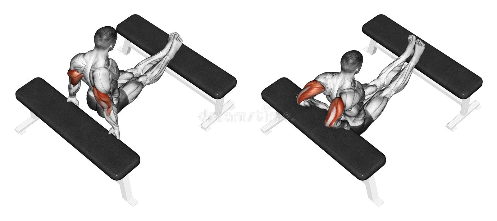 Exercising. Squeezing triceps back to the bench. Squeezing triceps back to the bench, lying on the bench. Exercising for bodybuilding. Target muscles are marked royalty free illustration