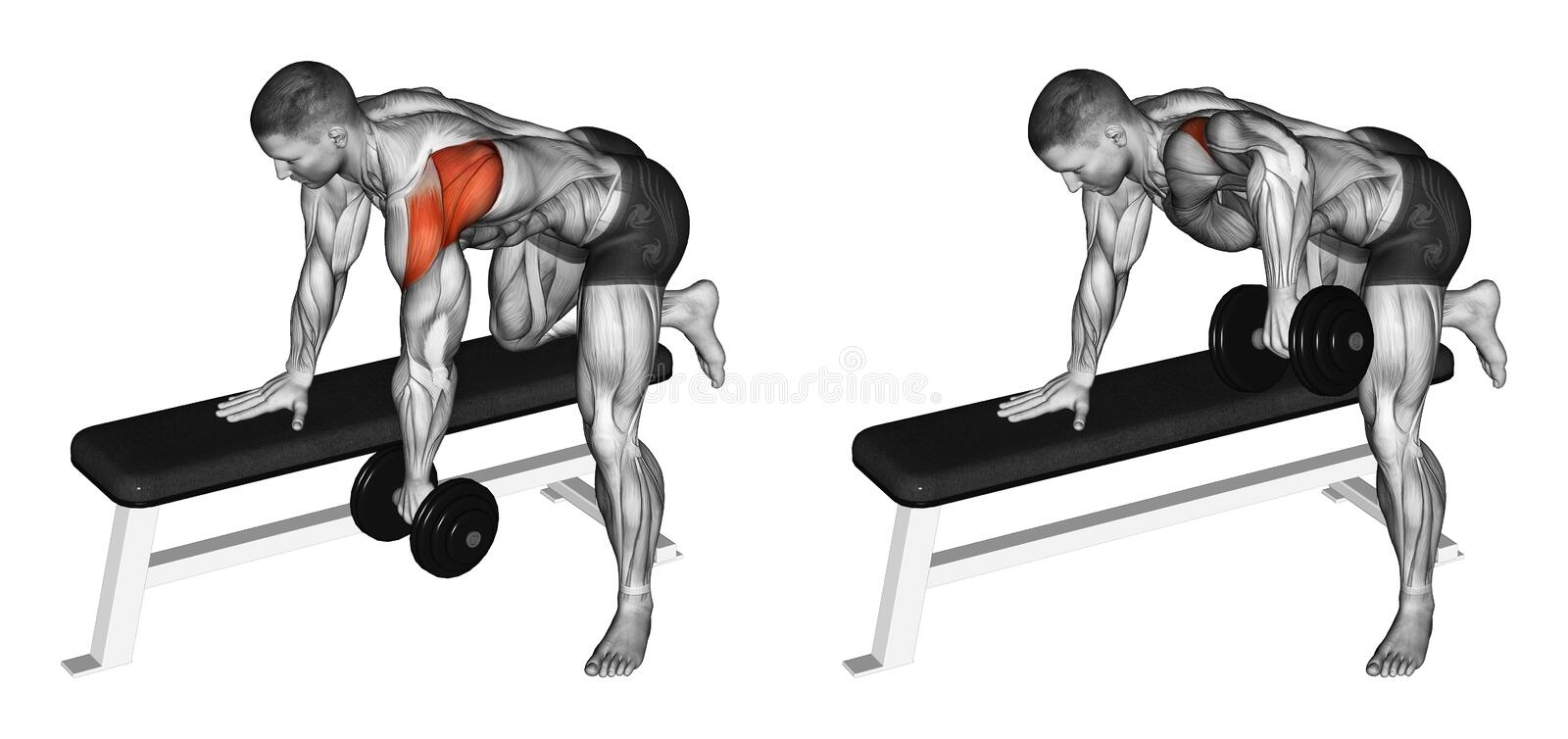 Exercising. Thrust dumbbells in the slope rear deltoid. Thrust dumbbells in the slope rear deltoid. Exercising for bodybuilding. Target muscles are marked in red vector illustration