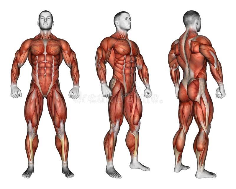 exercitar Projeção do corpo humano Mostrando todos os grupos do músculo que trabalham durante o exercício ilustração stock