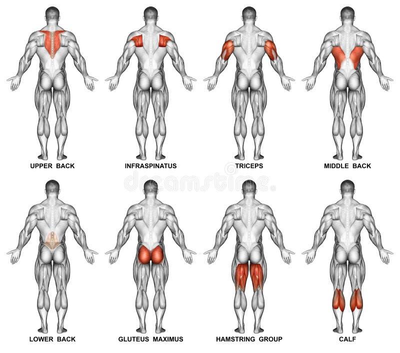 exercitar Projeção traseira do corpo humano ilustração royalty free
