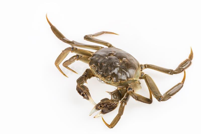Exhalez la bulle du plan rapproché vivant de crabe photographie stock libre de droits