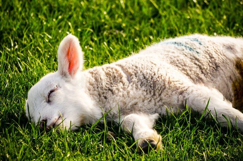Exhausted Lamb stock photos
