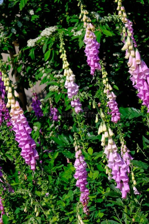 Exhibición de la dedalera en jardín fotografía de archivo libre de regalías