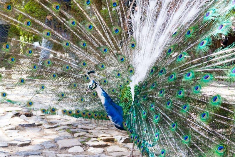 Exhibición de Peackock en Castelo de Sao Jorge (Portugal) foto de archivo libre de regalías
