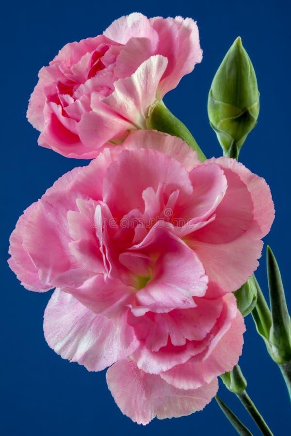 Exhibición de un pequeño grupo de rosas fotografía de archivo libre de regalías
