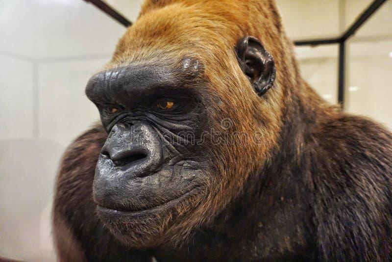 Exhibición del gorila en el museo de The Field imagenes de archivo