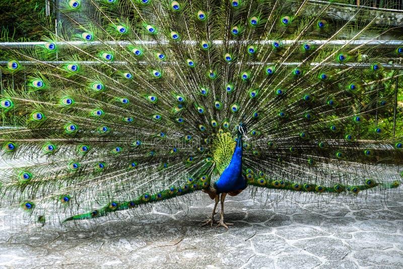 Exhibición del pavo real imagenes de archivo