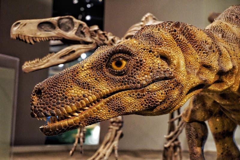 Exhibición del Velociraptor del dinosaurio en el museo de The Field foto de archivo libre de regalías