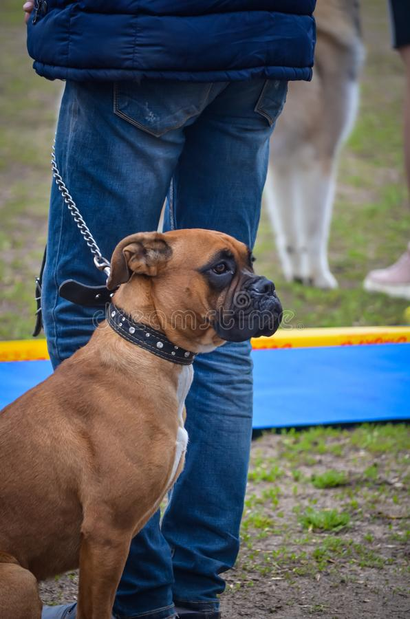 A dog breed boxer sits behind the owner in anticipation of entering the ring. Dog show . Exhibition of dogs of all breeds and ages stock photo