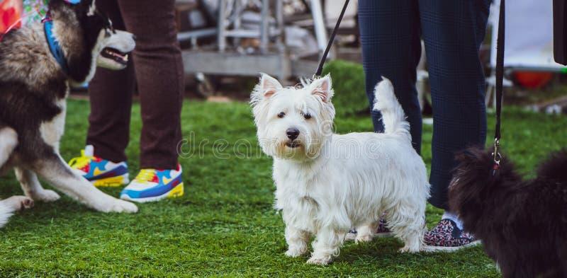 Exhibition of dogs, Westie dog stock photo