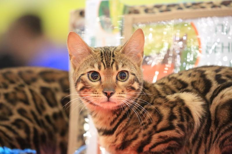 A gazing and sitting young Bengal cat royalty free stock photography