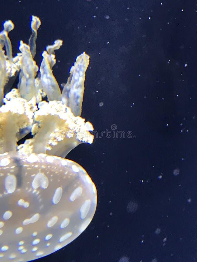 Exibição das medusas no aquário de Baltimore fotos de stock royalty free