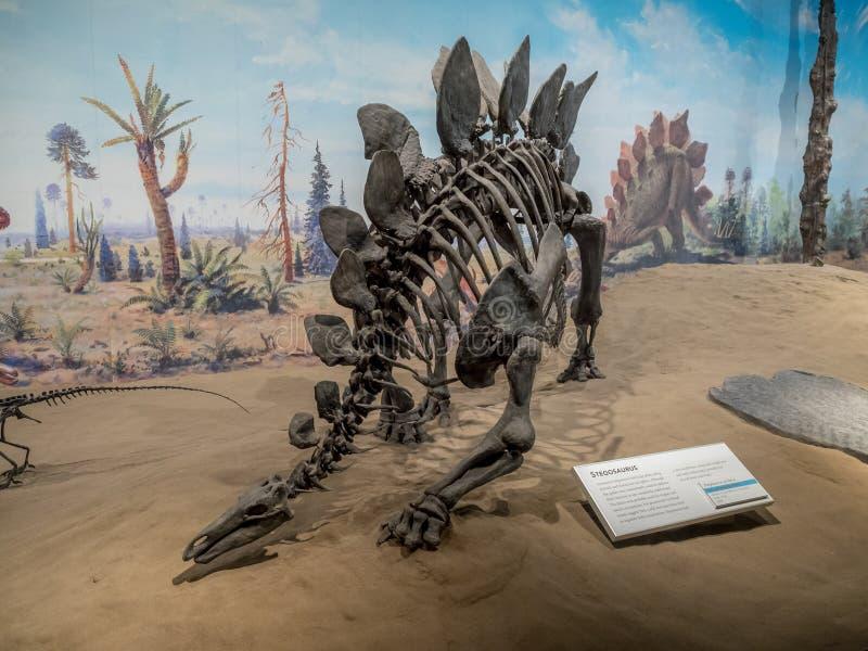 Exibição do fóssil de dinossauro foto de stock