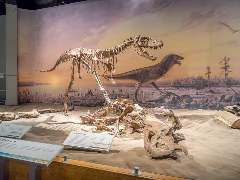Exibição do fóssil de dinossauro fotos de stock royalty free