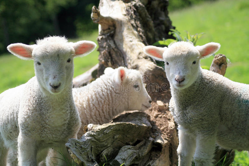 Exmoor lambs. Twin Exmoor lambs in North Devon stare at the camera royalty free stock images