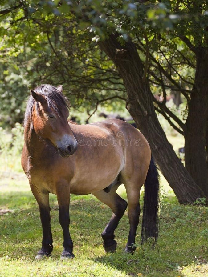 exmoor lasu konik zdjęcie royalty free