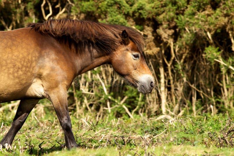 Exmoor pony. A wild Exmoor pony walking stock photos