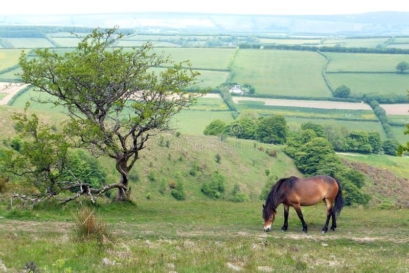 Exmoor Pony. Grazing on Exmoor National Park stock images