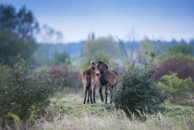Exmoor-Pony Milovice stockfoto