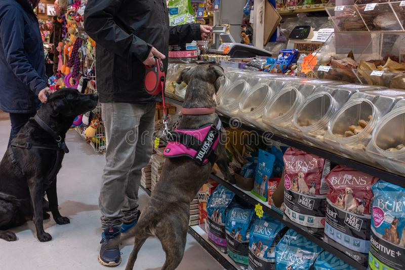 Exmouth, Devon, UK, April, 6, 2019: A pitbull type of dog in a pet food store sniffing out a treat, while the owner pays stock photos