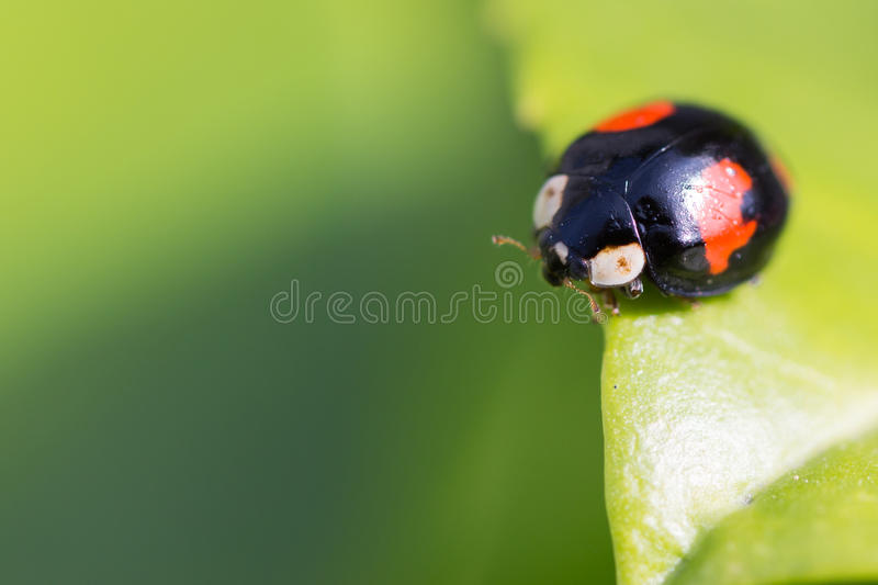 a exochomus quadripustulatus sits on a curved leaf stock photography